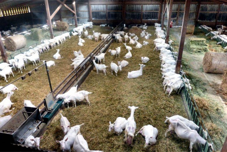 GAEC LOuche Vigné élevage de Chèvres